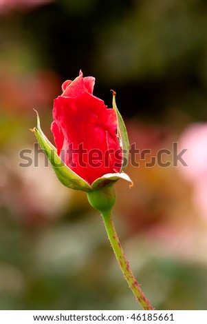 red rose flower garden. red rose bud in flower