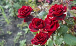 beautiful red rose Bush red roses, bouquet of red roses