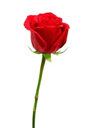 Beautiful red rose close-up