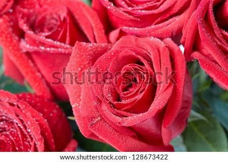 Beautiful red rose. Flower greeting card background.