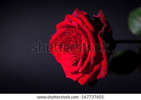 beautiful red rose flower on black background macro detail card #167737601