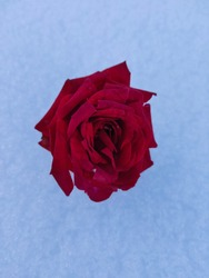 Beautiful red rose flower on the snow image