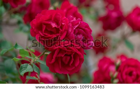 Beautiful Red Rose Flowers #1099163483