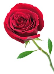 Beautiful red rose isolated on a white background
