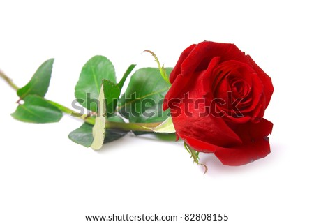 Beautiful red rose isolated on white background