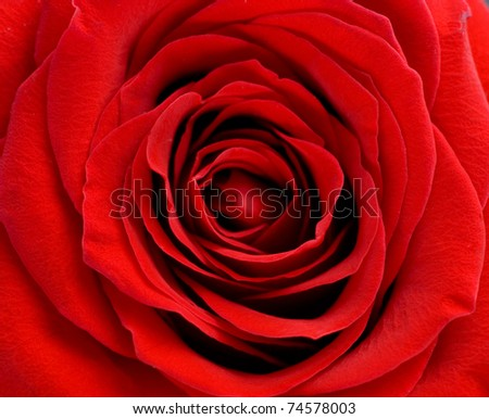 beautiful red rose of close up