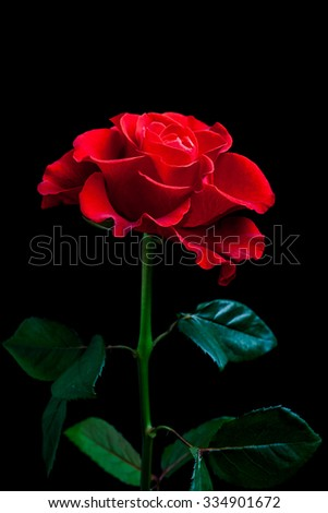 Beautiful red rose on black background
