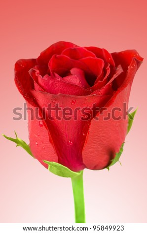 Beautiful red rose on red gradient background.