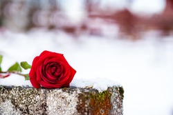 Beautiful red rose on the grave wall in winter