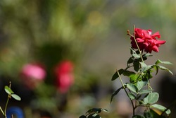 Beautiful Red rose stem with blurred bokeh background. Indian rose also known as Desi or Kashmiri rose with green baclground. Space to write text for wallpaper poster use.