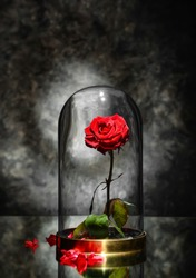 Beautiful red rose under glass cap on table against dark grey background