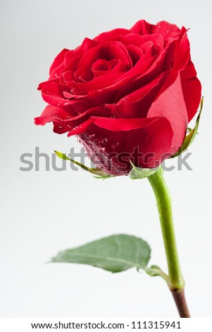 Beautiful red rose with drops of water on its petals