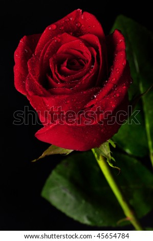 Beautiful red rose with rain drops on black background