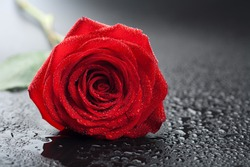 beautiful red rose with water droplets over black background