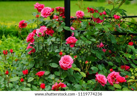 Beautiful red roses bush in garden at summer day