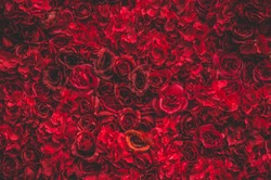 Beautiful red roses. Flower wall. Close-up of huge red roses. Valentines day present. Love and passion. Floral design. Summer and spring.Place for tex