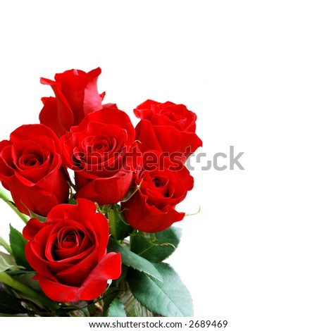 a while there is a red White rose, whitebeautiful big red roses blooming