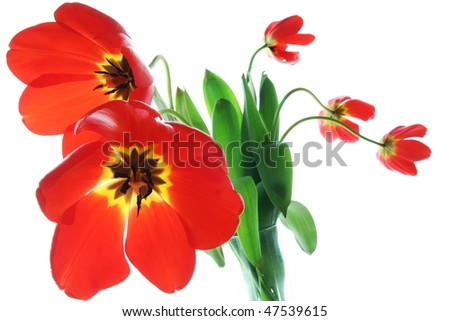 Beautiful red spring tulips, wide angle, backlit, isolated on white