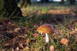 Beautiful red toadstool, mushroom close up