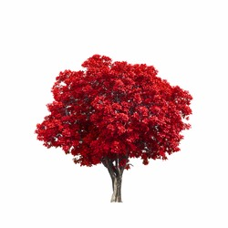 Beautiful red tree isolated on white background.