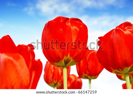 Beautiful red tulip flowers, floral background