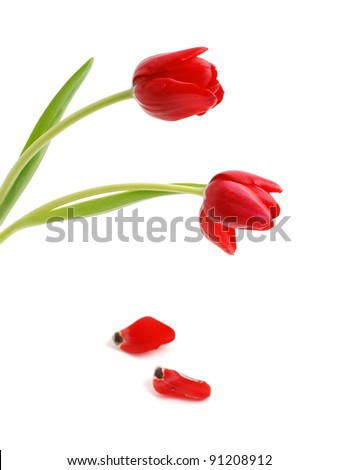 Beautiful red tulips and petals on white background