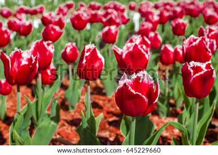 Beautiful red tulips, colorful spring flowers. Floral background