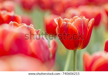 Beautiful Red Tulips, Darwin Hybrid Red Tulips in a flowerbed
