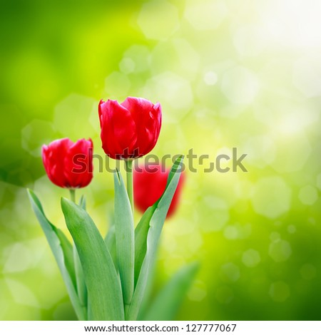 Beautiful red tulips on green background