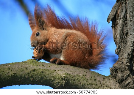 Beautiful redhead squirrel sits on a tree and gnaws a nut