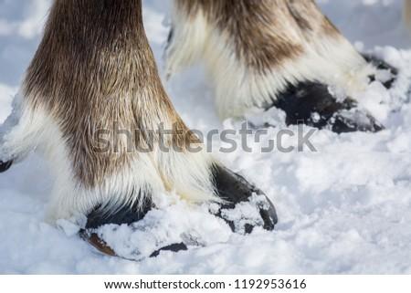 Beautiful reindeer hooves on snow