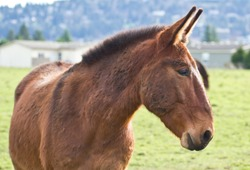 Beautiful rescued mule in a nearby pasture.