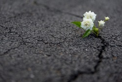 Beautiful resilient flower growing out of crack in asphalt
