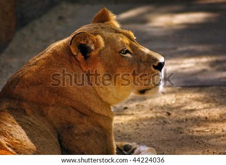 Beautiful Resting Lioness