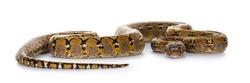 Beautiful Reticulated python aka Malayopython reticulatus snake in color platinum. Isolated on white background.