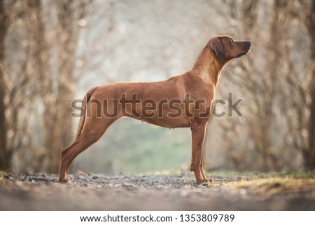 Beautiful Rhodesian ridgeback dog #1353809789