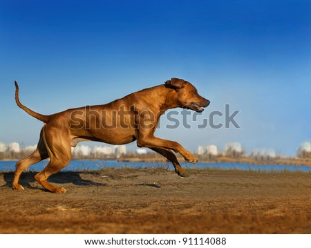 Beautiful Rhodesian ridgeback dog portrait