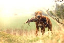 beautiful rhodesian ridgeback dog puppy hold pheasant bird hunting