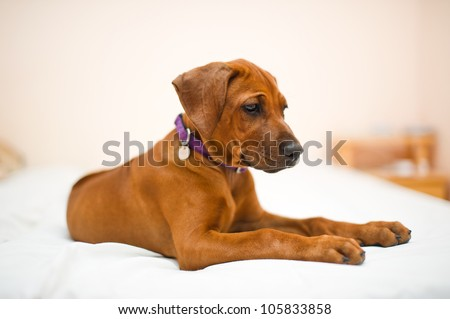 Beautiful rhodesian ridgeback dog puppy indoors