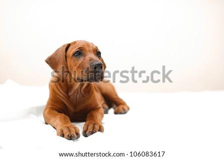 Beautiful rhodesian ridgeback dog puppy indoors - stock photo