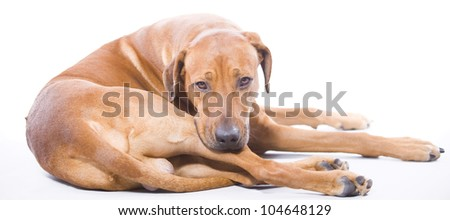 beautiful Rhodesian Ridgeback hound dog in studio, lying down and lokking into the camera, 4 years old male