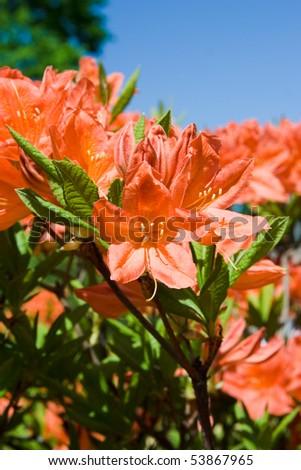 beautiful rhododendron bush at park