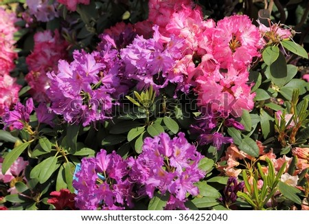 Beautiful rhododendron pink flower bushes in a garden ez canvas beautiful rhododendron pink flower bushes in a garden mightylinksfo