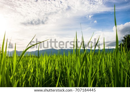 Beautiful rice fields over the mountain range.Rice field green grass blue sky cloud cloudy landscape background  at sunset,Green rice field at sunrise. #707184445