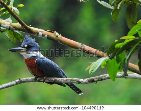 Beautiful Ringed Kingfisher (Megaceryle torquata) perched on a tree branch above a pond