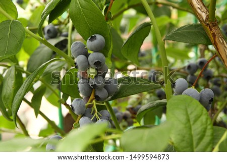Beautiful ripe blueberry fruits in clusters. Ripening fruits in clusters hang in clusters against a background of green healthy bushes. #1499594873