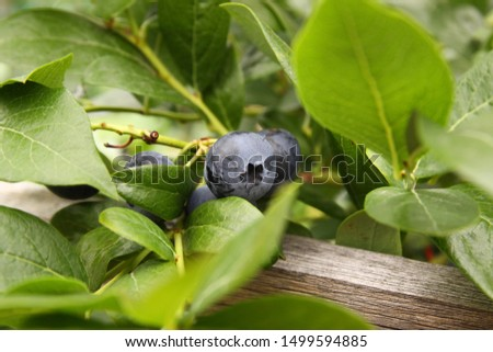 Beautiful ripe blueberry fruits in clusters. Ripening fruits in clusters hang in clusters against a background of green healthy bushes. #1499594885