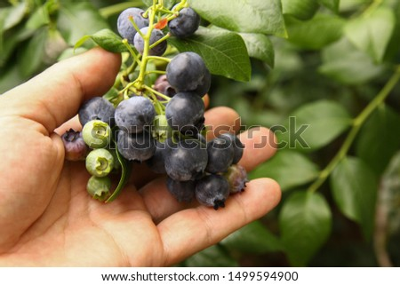Beautiful ripe blueberry fruits in clusters. Ripening fruits in clusters hang in clusters against a background of green healthy bushes. #1499594900