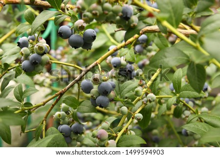 Beautiful ripe blueberry fruits in clusters. Ripening fruits in clusters hang in clusters against a background of green healthy bushes. #1499594903
