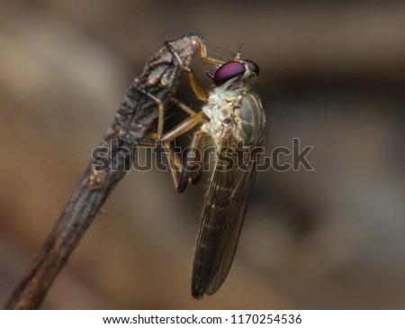 Beautiful Robber fly, Robber fly, Robber fly of Borneo, Robber fly with isolated black background.(holcocephala fusca)